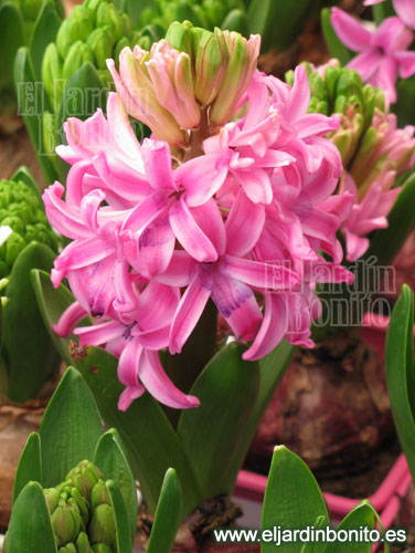Jacinto hyacinthus spp - Jacinto planta cuidados ...