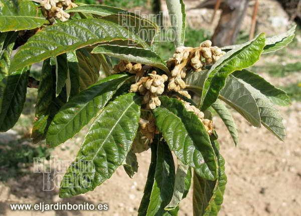 N spero eryobotria japonica mespilus germanica - Arbol de membrillo ...