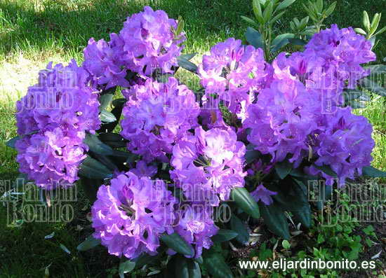 rododendro - rhododendrom
