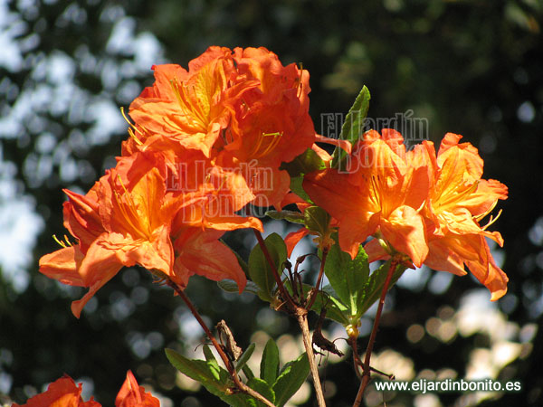 rododendro, rhododendrom, flores