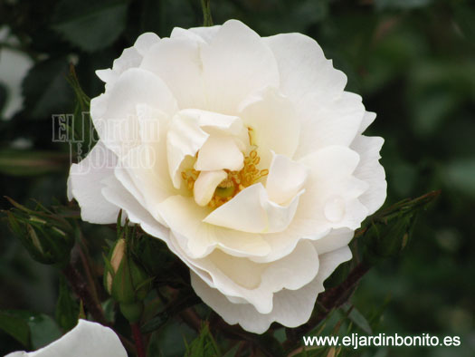 rosa diamond border