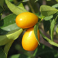 kumquat, fortunella margarita